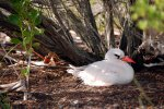 20_Tropicbirds_nest_in_holes_or_crevices_on_the_ground