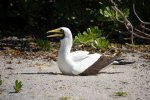 17_Beautiful_Masked_Booby_breeding_(Sula_dactylatra-Maskentoelpel)