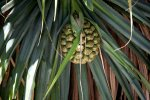 56_Fruit_of_a_Pandanus_on_Tauna_Island