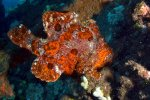 11_Commersons_frogfish_(Atennarius commerson-Riesenanglerfisch)