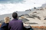 06_Sitting_at_Cardwell_Point_watching_Northern_Elephant_Seals_(Mirounga_angustirostris-See-Elefantan)_and_California_Sealions