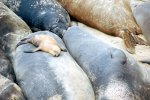 13_Compared_to_the_sealions_the_elephant_seals_are_huge