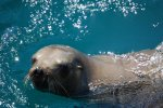 03_A_typical_young_California_Sealion_(Zalophus_californianus-Kalifornischer_Seelöwe)