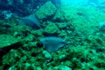 02_Stingray_were_very_common_on_the_south_side_of_San_Benedicto_(Himantura_sp-Stachelrochen)