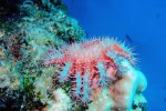10_Even_here_we_see_some_Crown_of_Thorns_starfish_(Acanthaster_planci-Dornenkronenseestern)