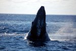 15_Baby-Humpbackwhale_looking_at_us_(Megaptera_novaeangliae-Buckelwal)