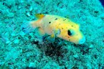 26_Yellow_form_of_the_Golden_Pufferfish_(Arothron_meleagris-Perlhuhnkugelfisch)