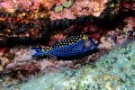 31_White-spotted_Boxfish_(Ostracion_meleagris-Weisspunkt-Kofferfisch)