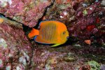 40_Juvenile_Clarion_Angelfish_(Holacanthus_clarionensis-Clarion_Engelsfisch)