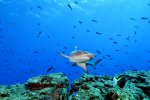 55b_Plenty_of_White-tipped_Reefsharks_at_the_dinghy_anchoring_spot_on_the_Boiler