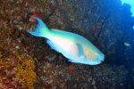 69_Lots_of_parrotfish_like_this_male_Ember_Parrotfish_(Scarus_rubroviolaceus-Nasenhöcker-Papageifisch)