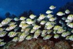 71_Big_group_of_Convict_Tang_a_kind_of_surgeon_fish_(Acanthurus_triostegus-Gitter-Doktorfisch)