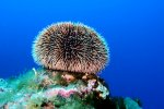 75_We_also_found_lots_of_seaurchins_(Seeigel)