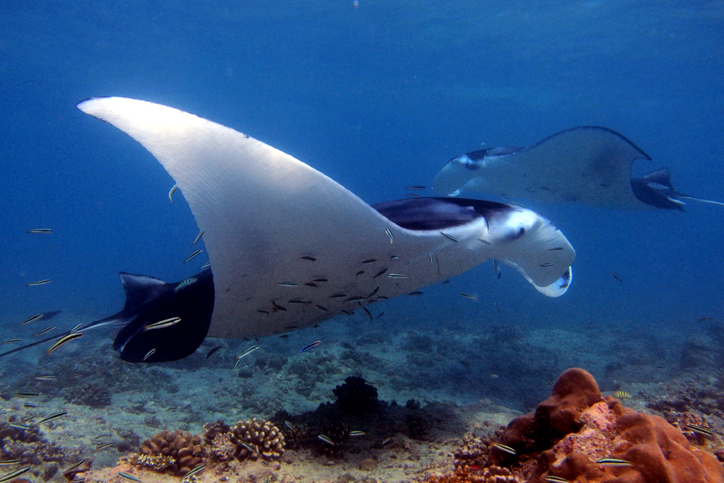 Manta at cleaning station