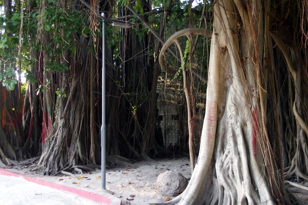 Trunk of the old Banyan tree